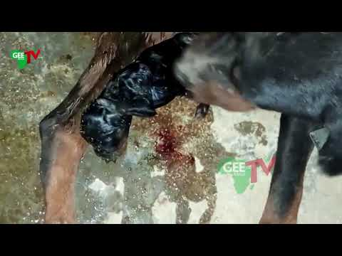how-dog,-rottweiler-gives-birth
