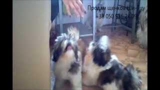 Продам щенков Ши-Тцу