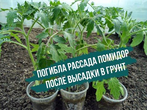 Погибла рассада помидор после высадки в грунт: не повторяйте моих ошибок!