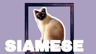 SIAMESE CAT BREED INFORMATION:life with a cat