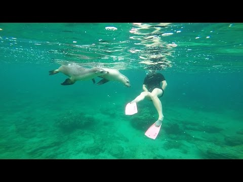Lions of the Sea - Swimming with acrobatic sea lions at Green Head, Western Australia