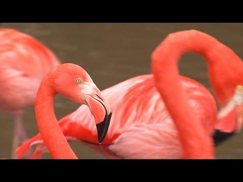 Zoo Ostrava - hnízdění plameňáků kubánských
