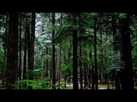 ЗВУКИ ЛЕСА. Звуки природы,  Сосновый лес, Релакс, покой,