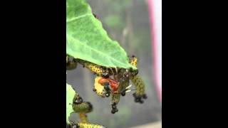 Grapeleaf Skeletonizer (Harrisina americana) moth caterpillars getting eggs laid in them by wasp.