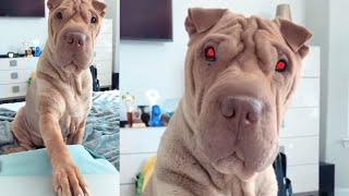 犬「浮気はやめて!」飼い主に嫉妬して実力行使に出る(動画)