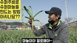 [한국농수산TV] 슈퍼추비로 슈퍼마늘을 만드는 방법을 …