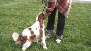 Wag On Inn Rescue Angel Cavalier King Charles Spaniel Video One Oct 30 2009