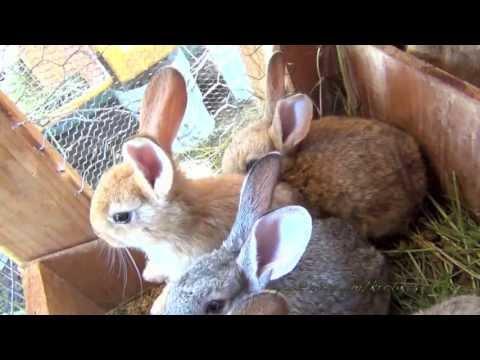 Кролики - все о разведение кроликов, кролиководство.