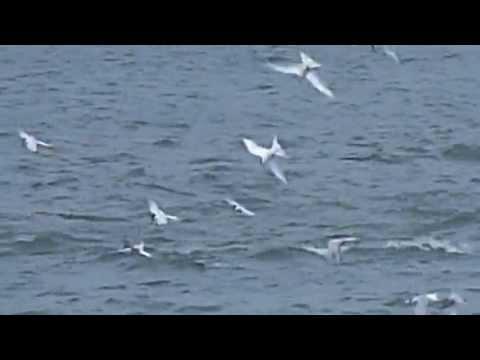 Roseate Tern Fishing