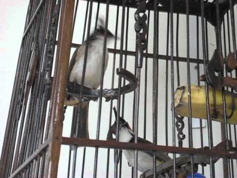 นกด่าง ผู้+เมีย