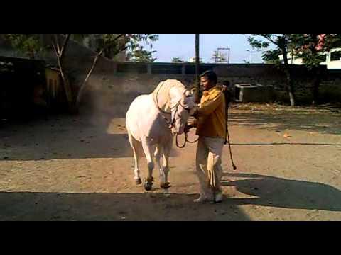 horse dance bablu rajput kannauj.......................