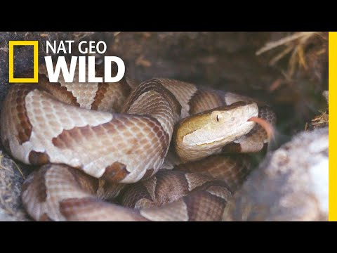 What You Need to Know About Copperhead Snakes   Nat Geo Wild