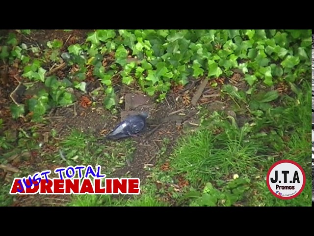 BirdCam - Pigeon- Short clip of a pigeon in Hawick, Scotland - get more at www.JTAPromos.net