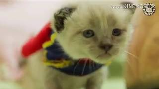 if Batman and superman were kittens|15 funny kitten videos compilation