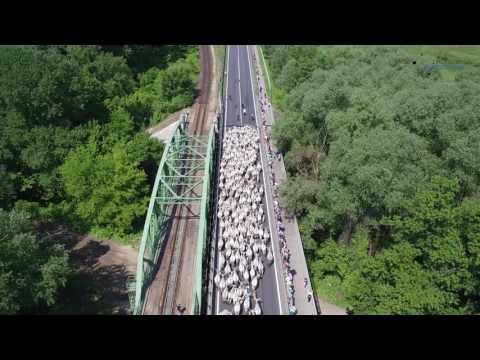 Tisza híd szürkemarha gulya hajtás drónszemmel