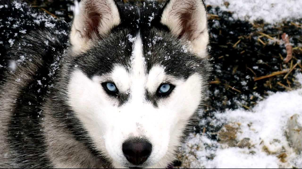 Husky Frases: Los Perros Mas Peligrosos Del Mundo