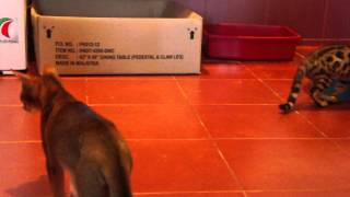 Бенгалы Серебро коты и голубая кошка на продажу  наш сайт http://bengallll.jimdo.com/