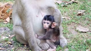 Poor Baby Monkey Need Nurse Milk, Newborn Baby Monkey Life
