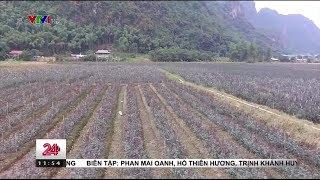 Thung lũng hoa hồng Chiềng Xôm | VTV24