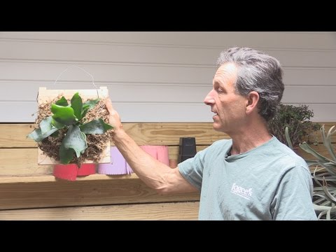 How to Mount a Staghorn Fern (Platycerium bifurcatum)
