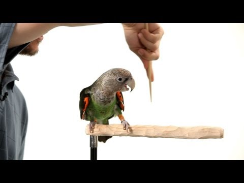 How to Target Train Your Parrot   Parrot Training