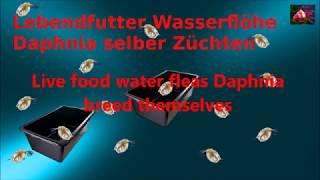 Lebendfutter Wasserflöhe Daphnia selber Züchten / Live food water fleas Daphnia breed themselves
