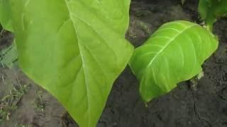 обзор сорта Burley TN-90 (Берли ТН-90) - купить семена табака