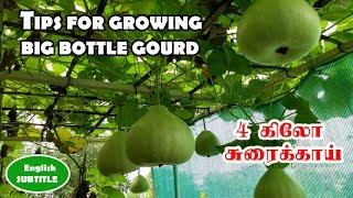 நாட்டு சுரைக்காய் (குண்டு சுரைக்காய்) வளர்ப்பு பற்றிய முழு விவரங்கள் (Growing Native bottle gourd)