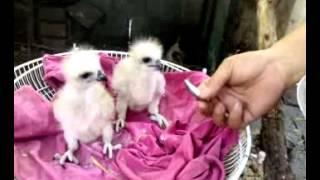 Feeding Nestling Brahminy Kite