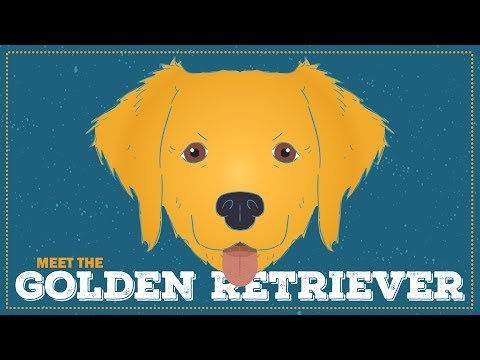 Breed Spotlight: the Golden Retriever