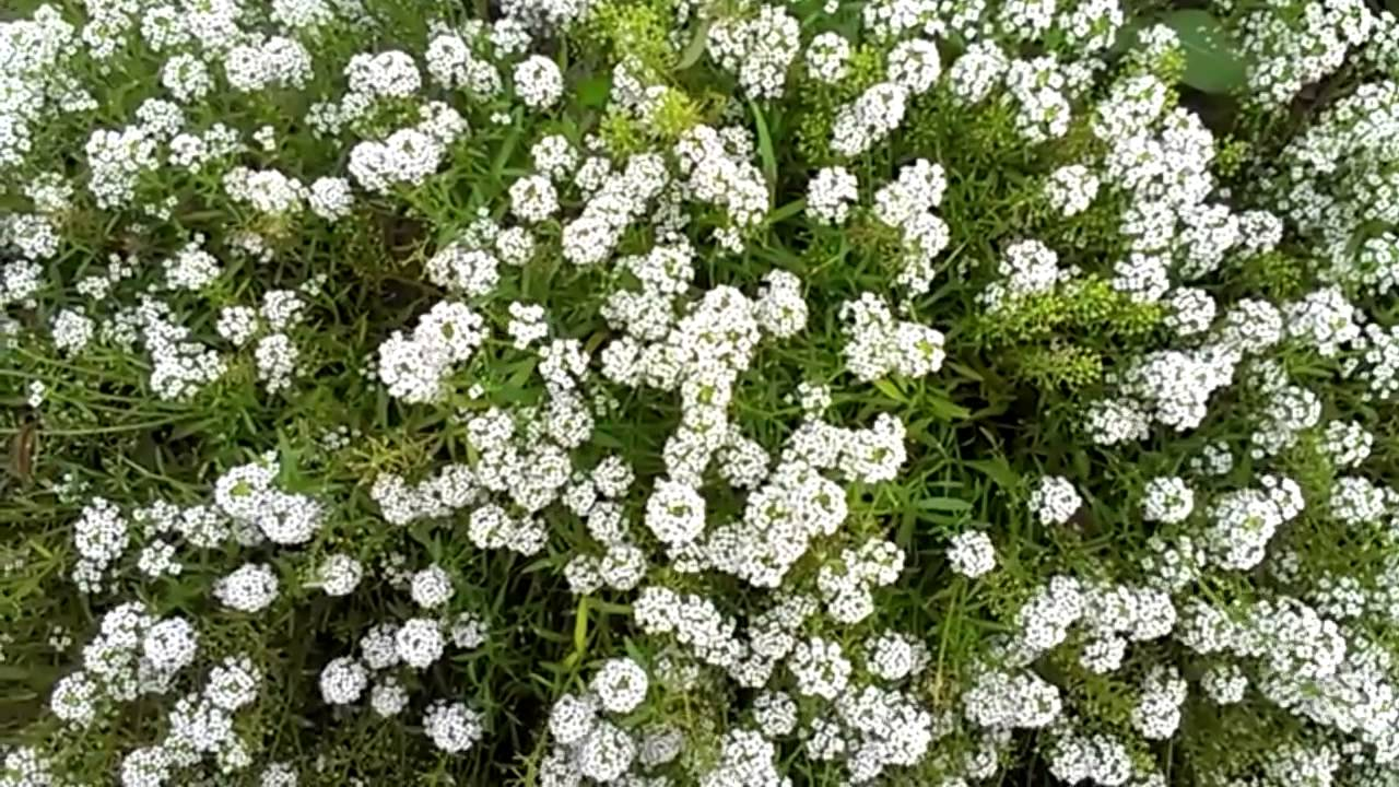 Hd Tiny White Flowers Moving With Gentle Wind Youtube