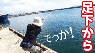 泳がせ釣り中漁港の足下から特大の魚がきてびっくりした
