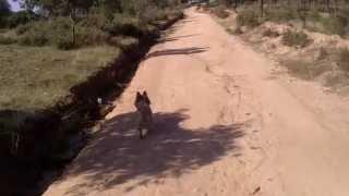 Cairn Terrier Y Jack Russel Terrier, Luke Y Tacha Returns