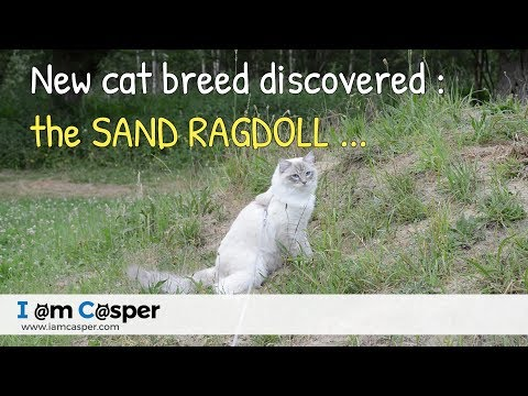 New cat breed discovered - The Sand Ragdoll