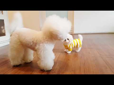 Bichon frise is so cute! lovely puppy videos - Teacup puppies KimsKennelUS