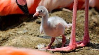 神戸市灘区の市立王子動物園でヨーロッパフラミンゴの赤ちゃんが誕生し...
