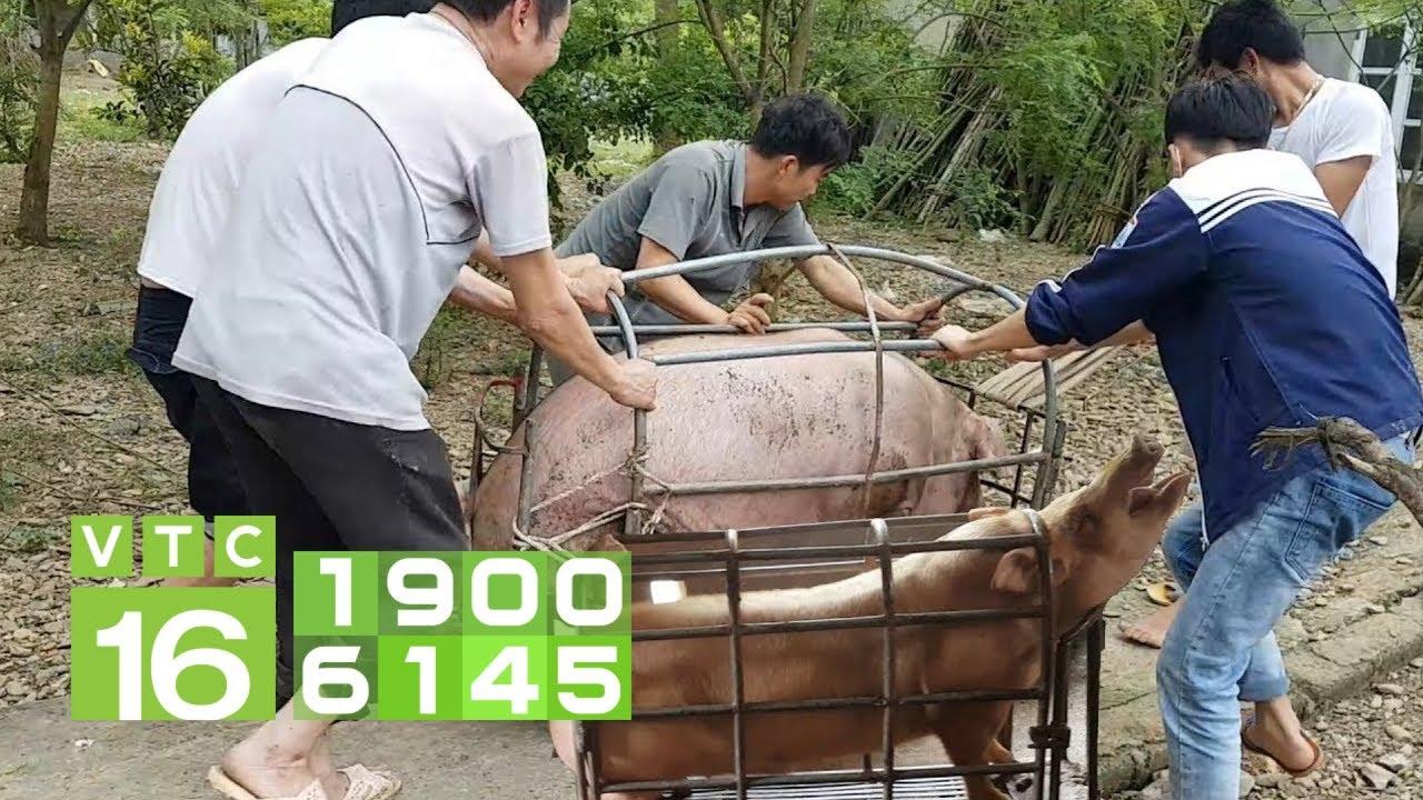 Giá lợn tăng cao nhất lịch sử: Ai là người hưởng lợi? | VTC16