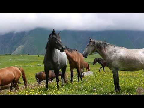 Мультфильм про диких лошадей как их ловят