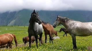 Грузия. Казбеги. Лошади в горах.