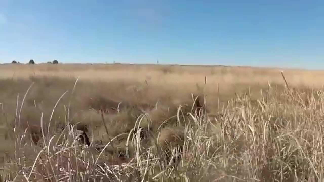 Colorado Pheasant Hunt December 2014 - Wild Pheasants - YouTube