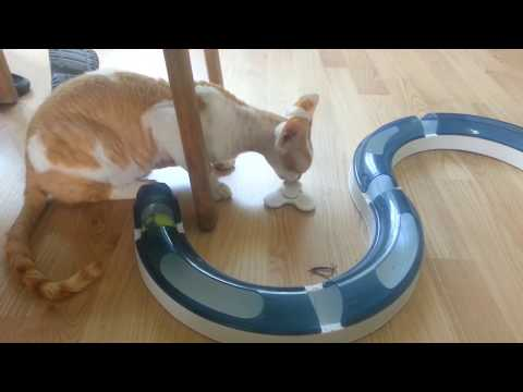 kitten day, cat is playing with a fidget spinner. Funny kitten