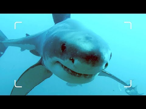 Why Are The World's Largest Sharks Disappearing?   African Shark Safari