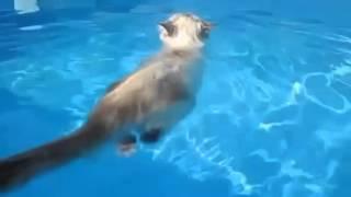 Кот который очень любит плавать