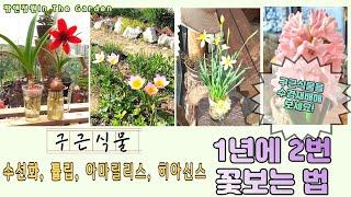 구근식물 꽃 일년에 두번 보는 방법/ 아마릴리스,수선화…