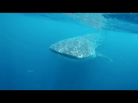 Snorkeling with Whale Sharks 4K Swimming with Whalesharks Cancun @ Ocean Tours Mexico Gopro 4 4k UHD