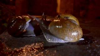 Foiled Snail Sex (actual speed)