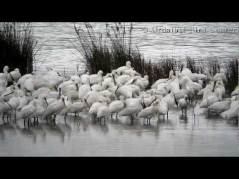 Urdaibai Bird Center - Platalea leucorodia