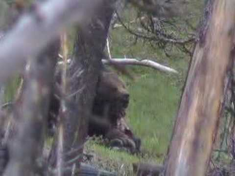 Yellowstone Grizzly on Bison Carcus
