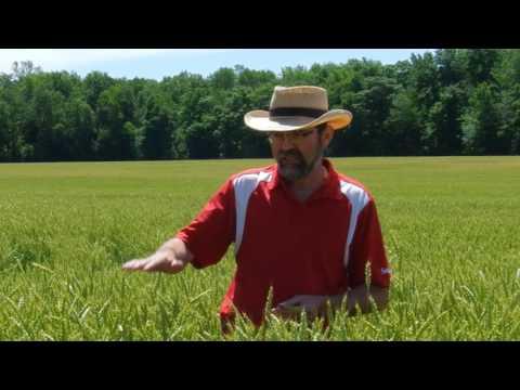 Roguing (Cribit Seeds)
