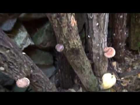 椎茸(菌糸体)栽培=寒の頃の収穫=2012.1.26.